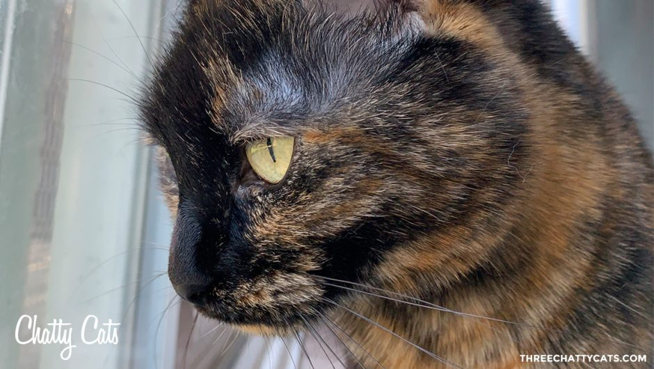 pretty tortie cat
