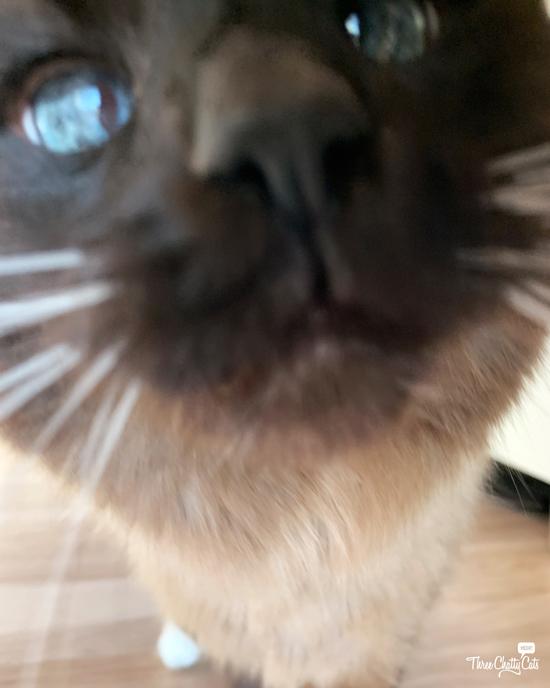 blooper siamese cat photo