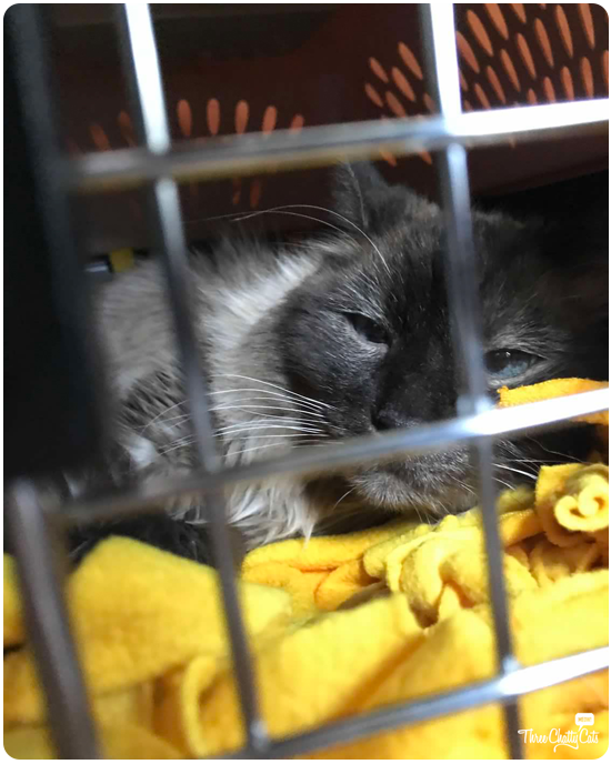 siamese cat in carrier coming home