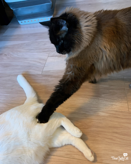 siamese cat poking white cat