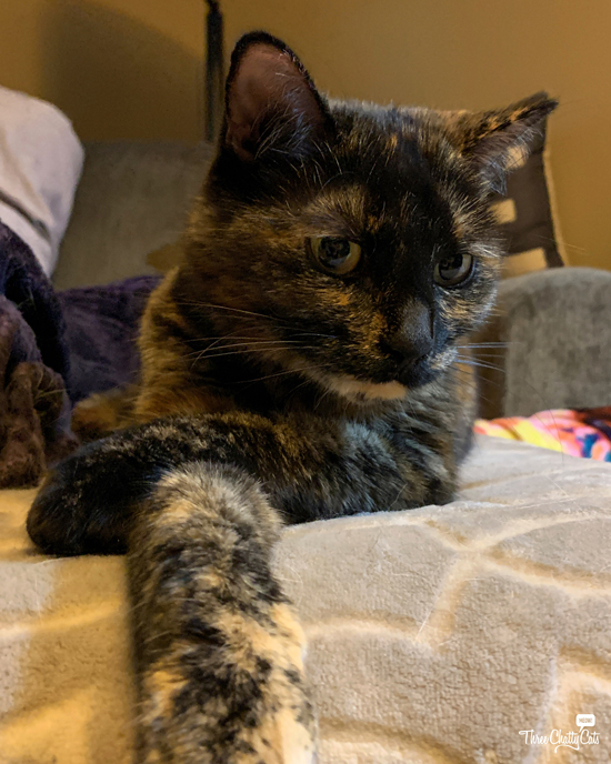 disapproving tortie cat with crossed paws