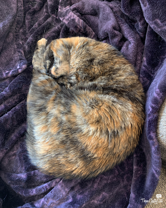 tortie cat shrimp
