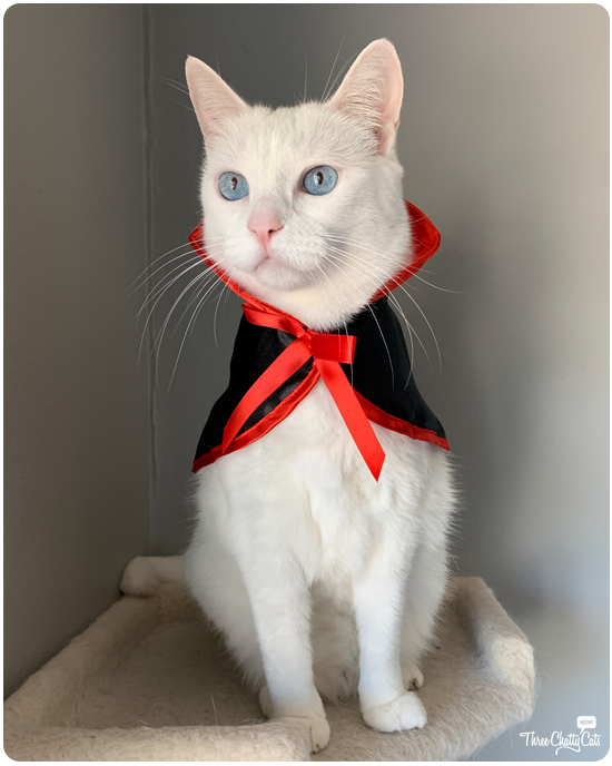 white cat in Halloween vampire outfir