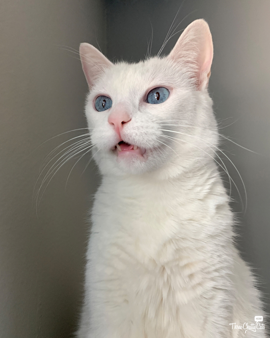 dumbfounded white cat with blue eyes