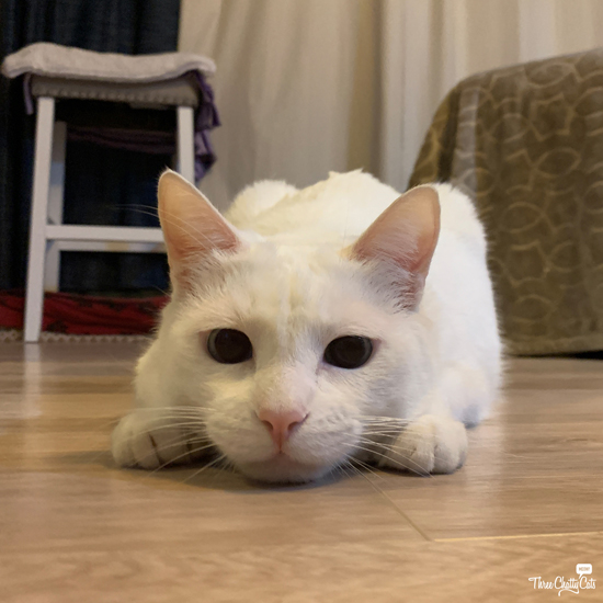 white cat wiggle butt