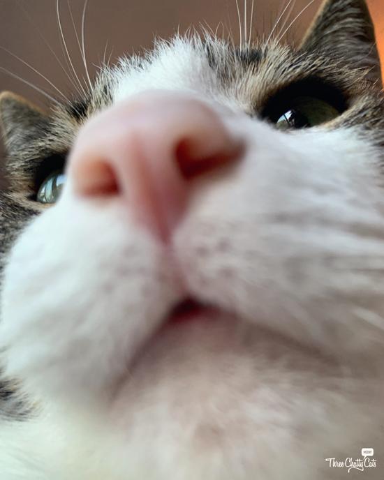 goofy tabby cat close up