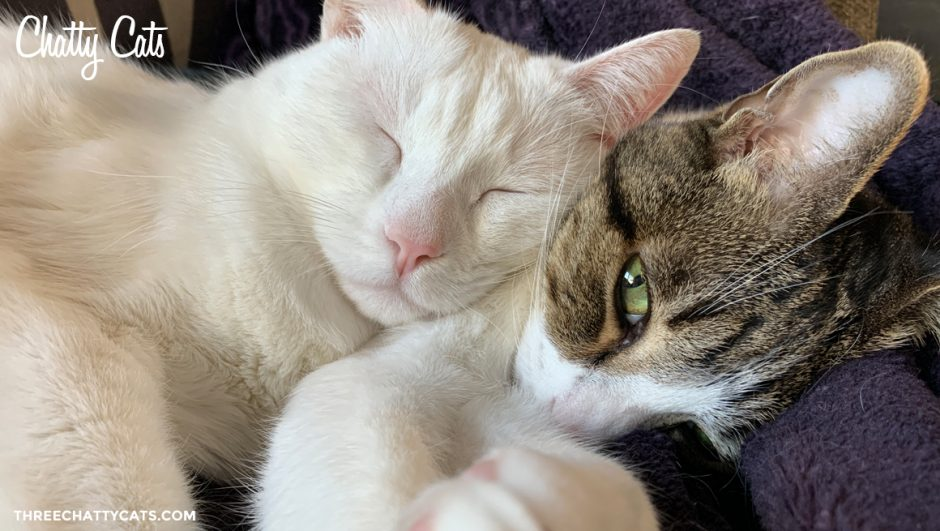 tabby cat and white cat cuddling