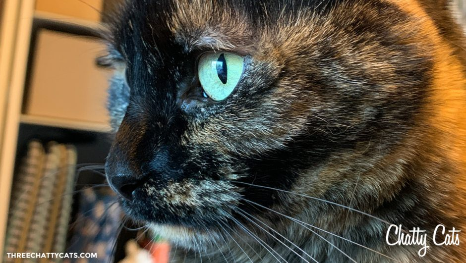 close up of tortie cat
