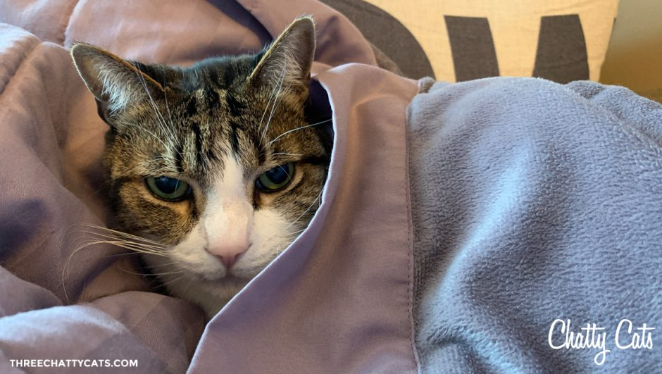tabby cat under blanket