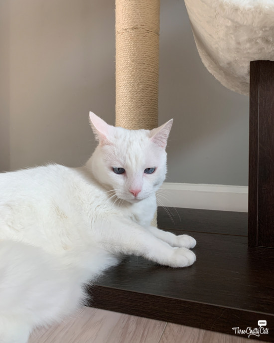 white cat with cat tree