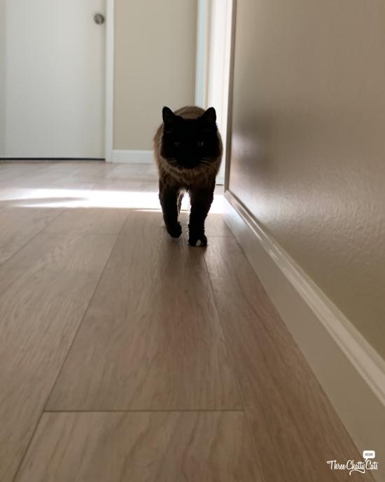 siamese cat walking down hallway