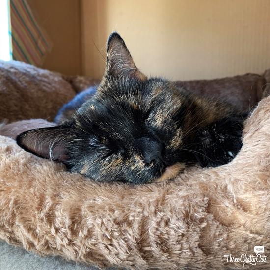 tortie cat in a bed in a box