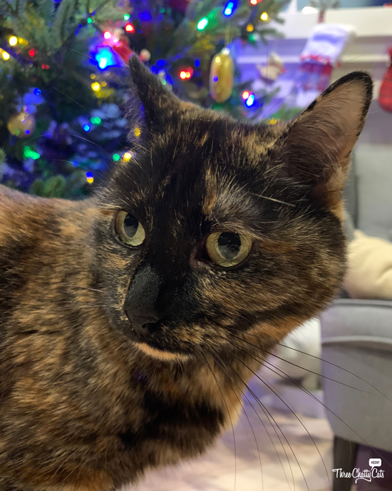 tortie cat in front of Christmas tree