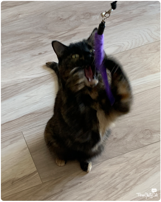 blooper of tortie cat playing