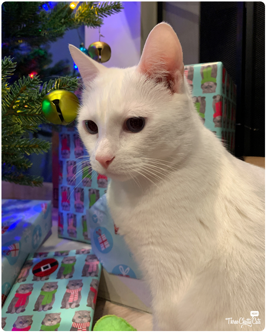 white cat by Christmas tree