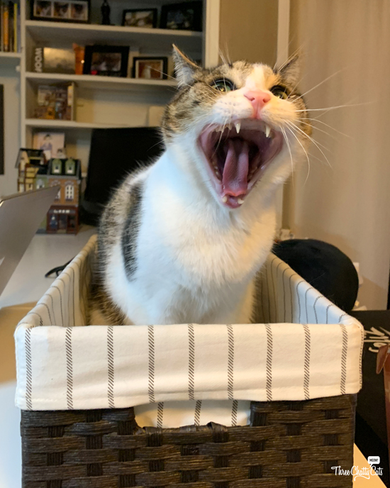 tabby cat yawning in basket