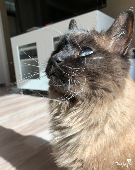 handsome siamese cat with long whiskers