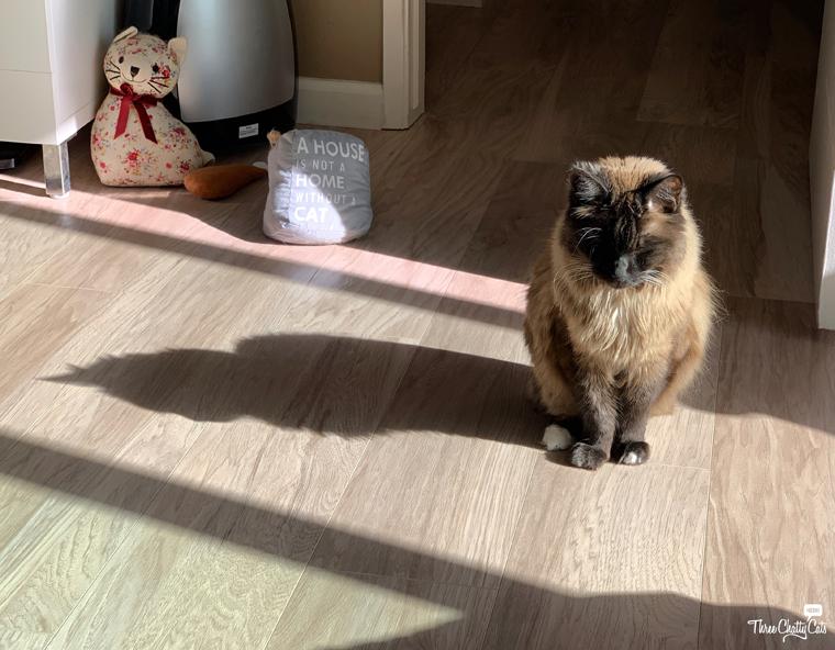siamese cat mix sitting in sunbeam