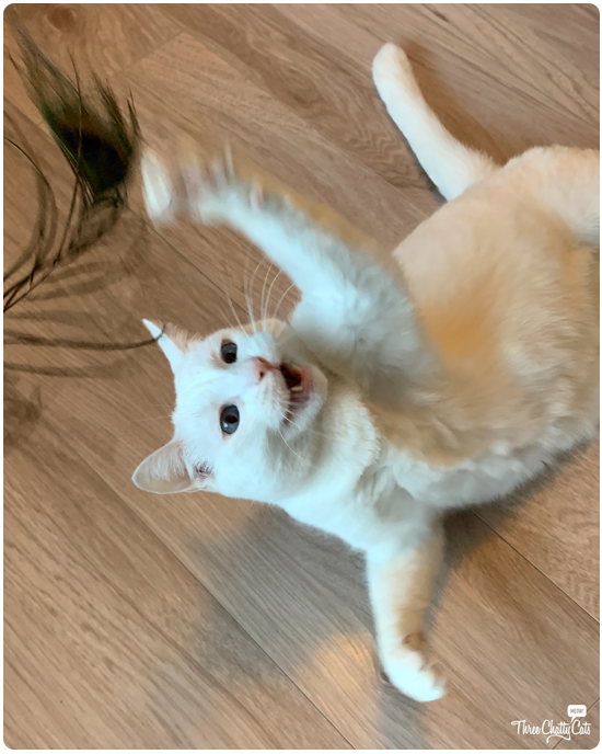 white cat playing with feather toy