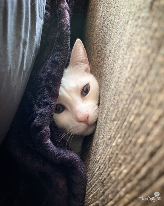 white cat peeking out from blanket