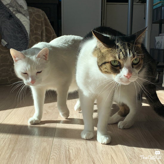 white cat and tabby cat up to no good