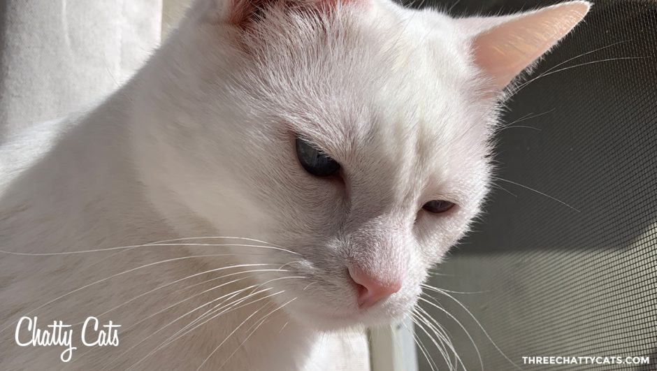 white cat by screen door