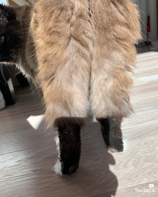 fluffy cat from behind