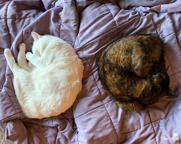 white cat sleeping next to tortie cat