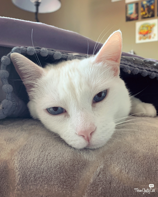 white cat with blue eyes under blanket