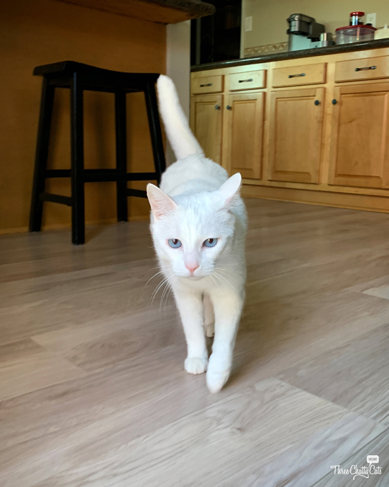 white cat with blue eyes walking toward camera