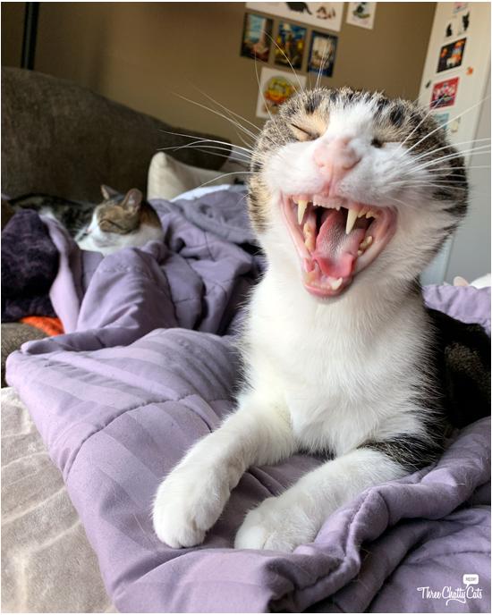 yawning tabby cat