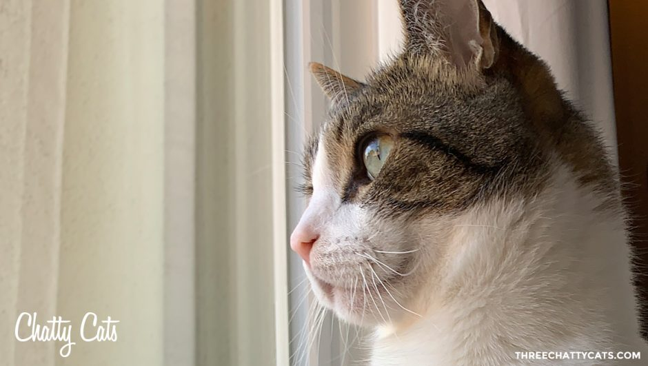 handsome tabby cat looking out window