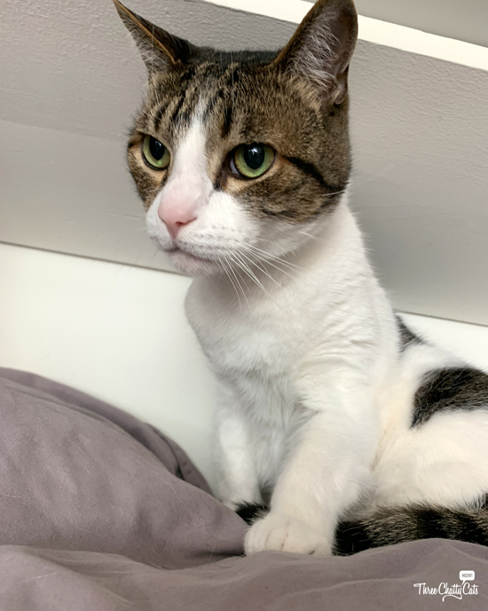 cute tabby cat on closet shelf