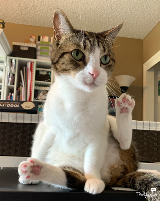 cute tabby cat with raised paw