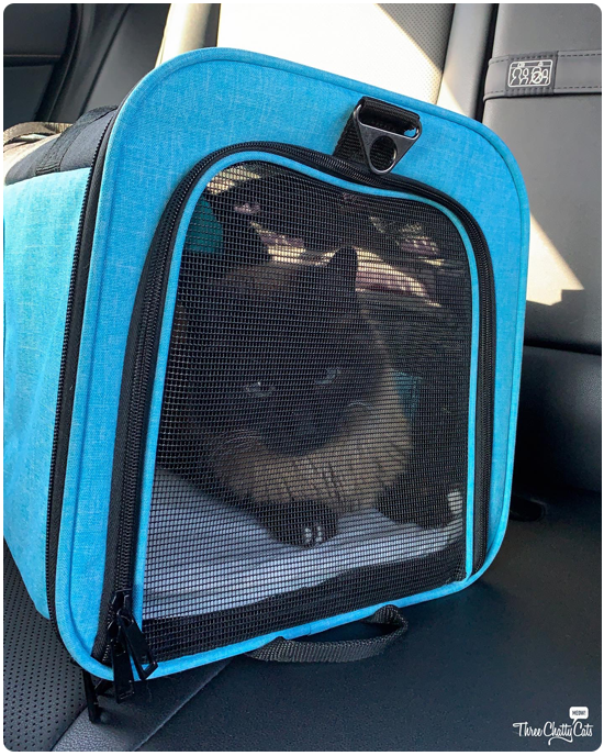 siamese mixed cat in carrier