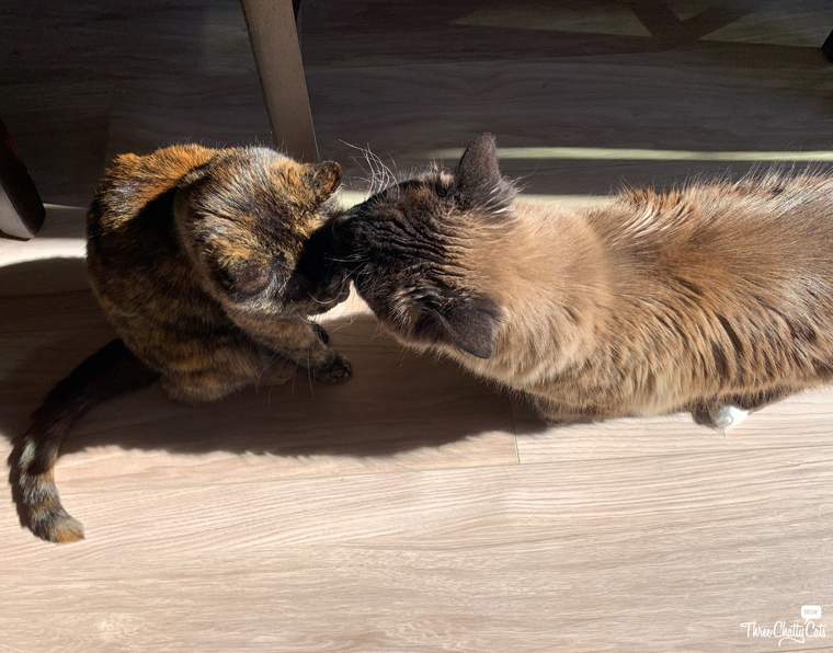 siamese mix cat sniffing tortie cat