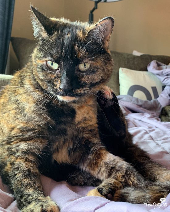 tortie cat with raised paw