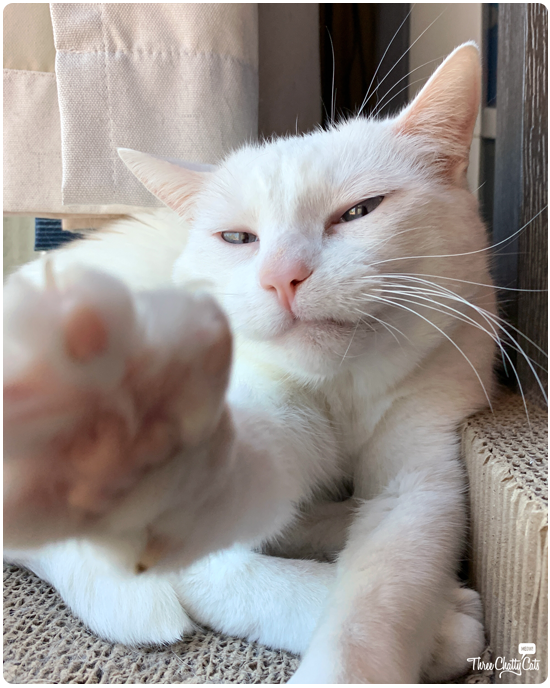 white cat reaching for camera