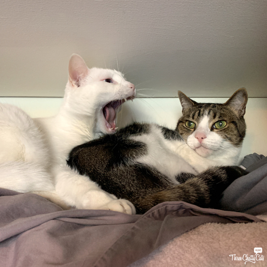 white cat yelling at tabby cat