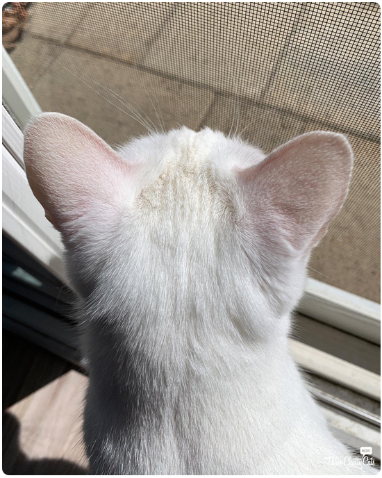 white cat with pink ears