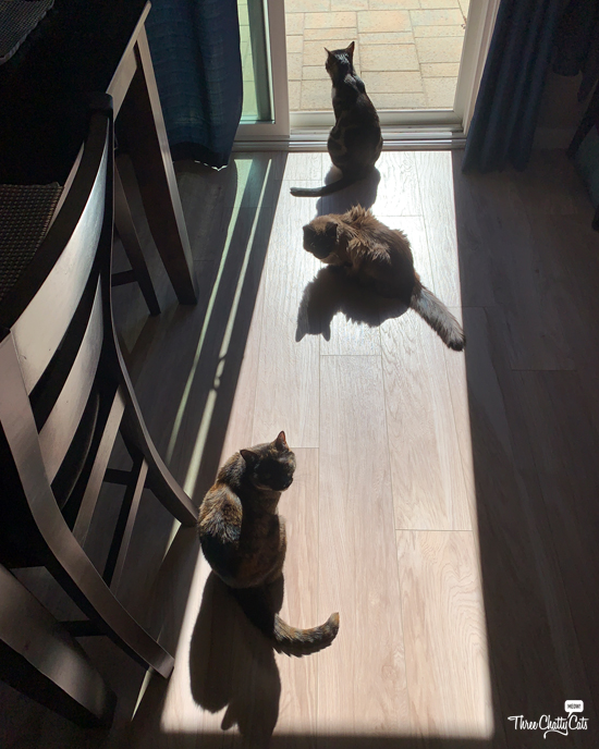 three cats in sunbeam