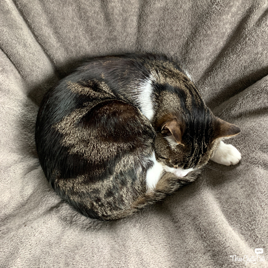 tabby cat curled up