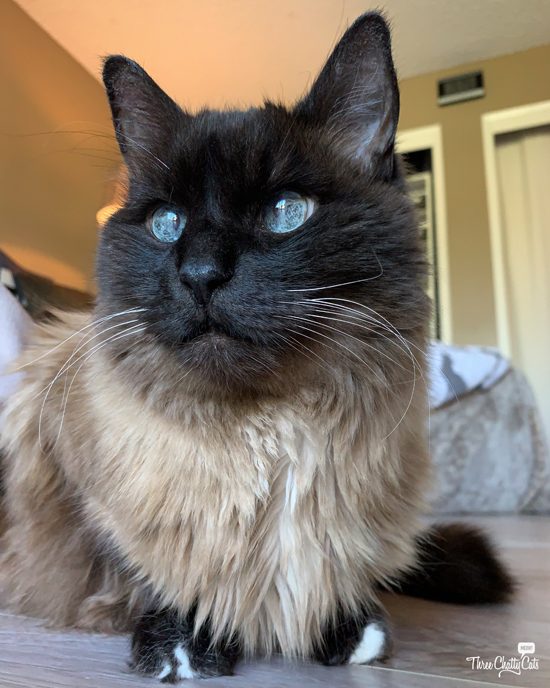 handsome siamese mix cat with blue eyes