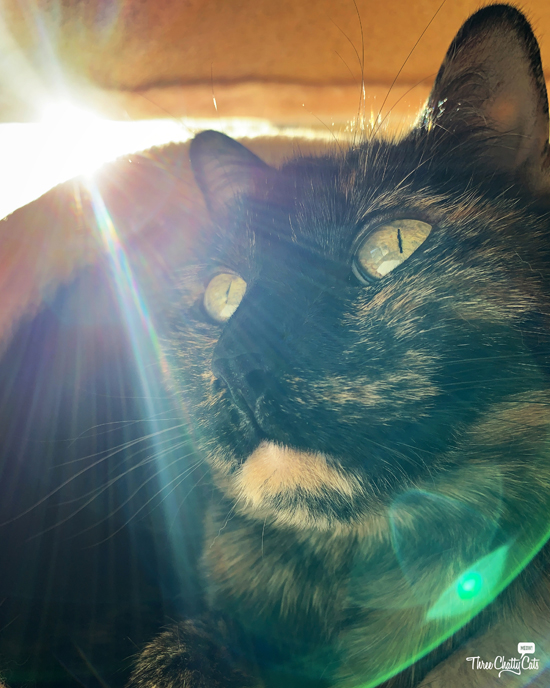 tortie cat with lens flare