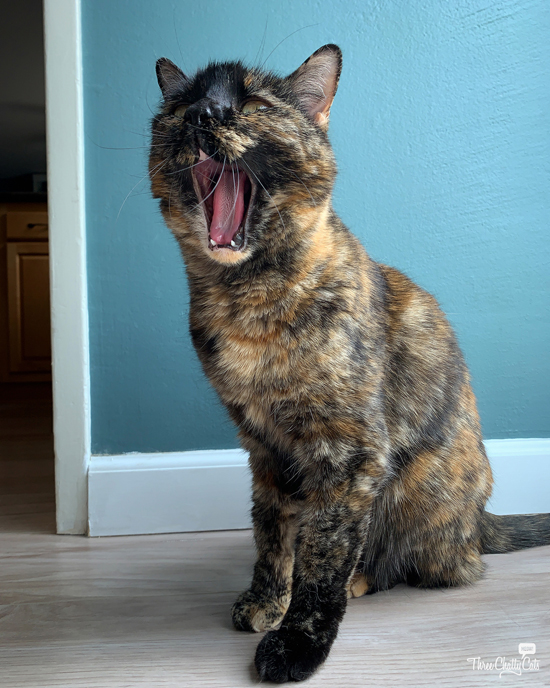 tortie cat yawning