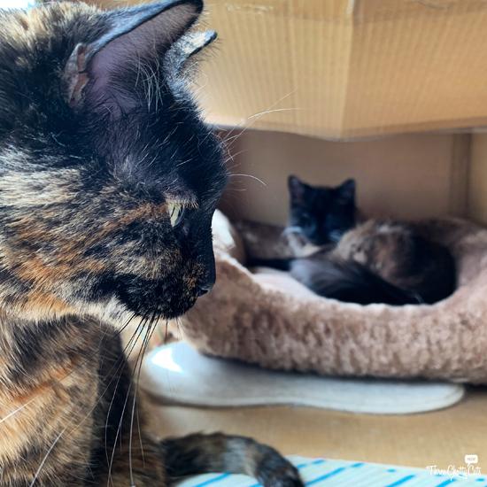 tortie cat guarding siamese mix cat