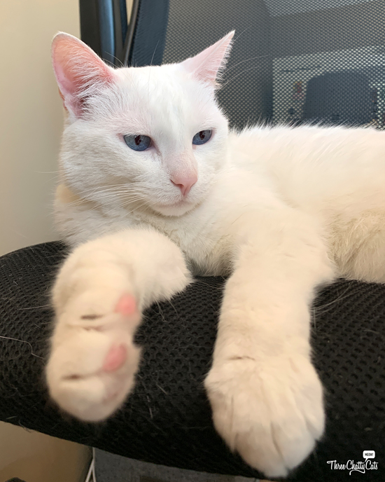 white cat in office chair