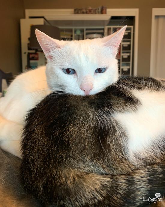 white cat resting on tabby cat