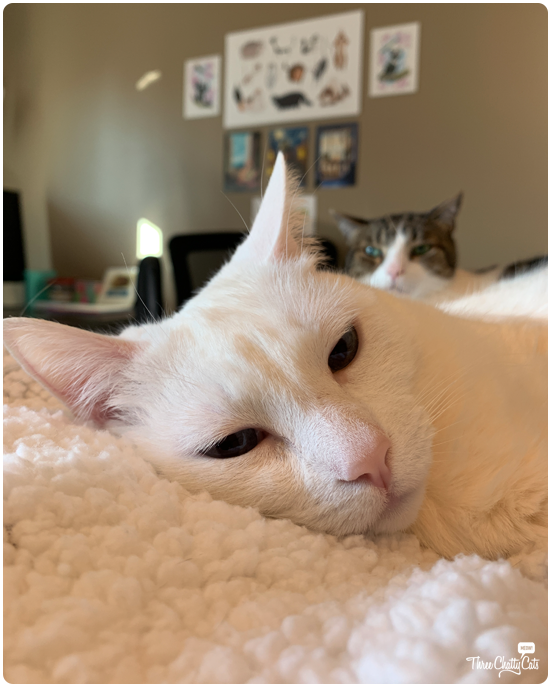 white cat with tabby cat in background