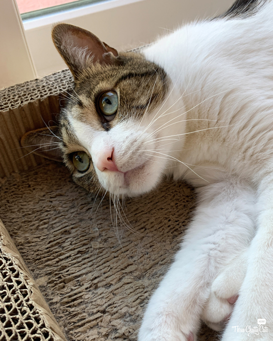adorable tabby cat in scratcher